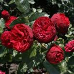Hochstamm Rose Piano® 80 - 100cm - Vorschau