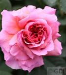 Englische Rose Princess Alexandra of Kent® 30-60cm - Vorschau