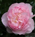 Englische Rose Sharifa Asma 30-60cm