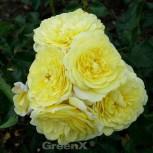 Floribundarose Solero® 30-60cm