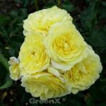 Floribundarose Solero® 30-60cm - Vorschau