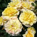 Edelrose Sunny Sky® 30-60cm - Vorschau
