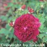 Englische Rose W. Shakespeare® 30-60cm