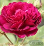 Historische Rose Zigeunerknabe 30-60cm