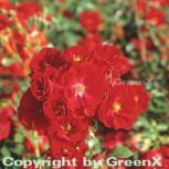 Bodendeckerrose Austriana® 20-30cm