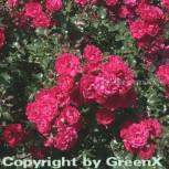 Hochstamm Rose Gärtnerfreunde 80 - 100cm