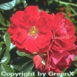 Hochstamm Rose Mainaufeuer 60-80cm - Vorschau