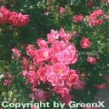 Hochstamm Rose Palmengarten Frankfurt® 60-80cm - Vorschau