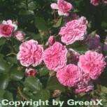 Hochstamm Rose Pink Swany® 80-100cm - Vorschau