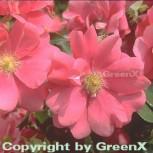 Bodendeckerrose Sommermärchen 20-30cm - Vorschau