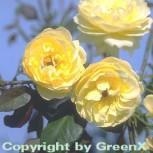 Bodendeckerrose Sonnenschirm® 20-30cm - Vorschau