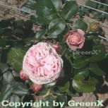 Kletterrose Giardina® 30-60cm