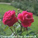 Hochstamm Rose Rosarium Utersen® 60-80cm - Vorschau