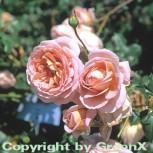 Englische Rose Abraham Darby® 30-60cm - Vorschau