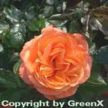 Hochstamm Rose Belvedere® 60-80cm - Vorschau
