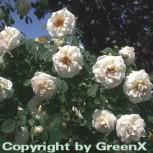 Parkrose Frühlingsduft 30-60cm - Vorschau