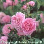 Englische Rose Gertrude Jekyll® 30-60cm