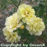 Hochstamm Rose Lichtkönigen Lucia® 80-100cm - Vorschau