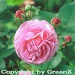 Historische Rose Louise Odier 30-60cm