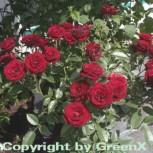 Minirosen Scarlet Hit 15-20cm