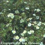 Kriechrose 20-30cm - Rosa arvensis - Vorschau