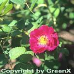 Historische Rose Officinalis 30-60cm - Vorschau