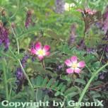 Hechtrose 20-25cm - Rosa glauca