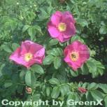 Apfelrose 40-60cm - Rosa rugosa - Vorschau