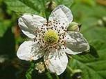 Brombeere Black Satin - Rubus fruticosus - Vorschau