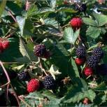 Brombeere Loch Ness - Rubus fruticosus - Vorschau