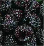 Himbeere Black Jewel - Rubus idaeus - Vorschau