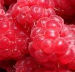 Himbeere Malling Promise - Rubus idaeus - Vorschau