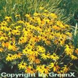 Sonnenhut Goldsturm - Rudbeckia fulgida