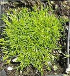 grüngelbes Sternmoos - Sagina subulata