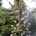 Hochstamm Zwerg Hängeweide 40-60cm - Salix caprea cottetti - Vorschau