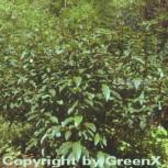 Weinrote Zwerg Weide 30-40cm - Salix moupinensis