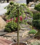 Hochstamm Teppichweide 40-60cm - Salix simulatrix - Vorschau
