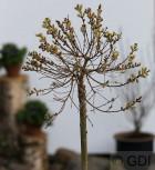 Hochstamm Zwerg Zierweide 40-60cm - Salix subopposita - Vorschau