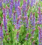 Ziersalbei Blaukönigin - Salvia nemorosa - Vorschau