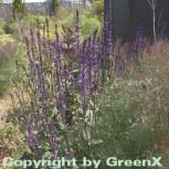 Salbei Caradonna - Salvia nemorosa