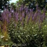 Ziersalbei Salbei Superba - Salvia nemorosa - Vorschau