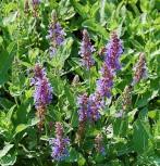 Echter Salbei Grete Stölzle - Salvia officinalis - Vorschau