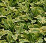 Echter Salbei Icterina - Salvia officinalis