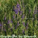 Wiesen Salbei - Salvia pratensis