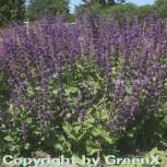 Quirlblütiger Salbei Purple Rain - Salvia verticillata