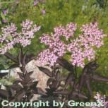 Schwarzer Holunder Black Beauty 30-40cm - Sambucus nigra - Vorschau