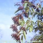 Schwarzer Holunder 80-100cm - Sambucus nigra