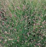 Wiesenkopf Pink Tanna - Sanguisorba officinalis