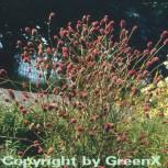 Großer Wiesenknopf - Sanguisorba officinalis
