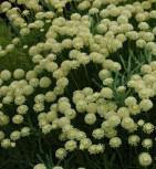 Heiligenkraut Edward Bowles - Santolina chamaecyparissus